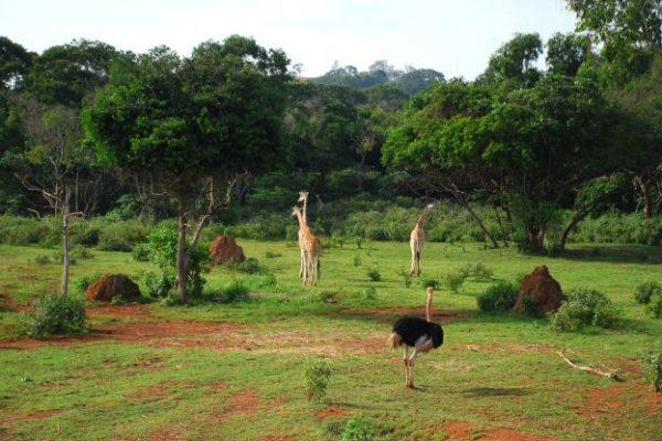 giraffes small_rid